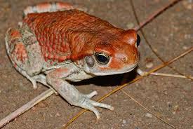 Schismaderma Carens Toad Venom